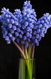 Blue pearl hyacinth Stock Image