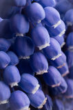 Blue pearl hyacinth Royalty Free Stock Photo