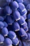 Blue pearl hyacinth royalty free stock photo