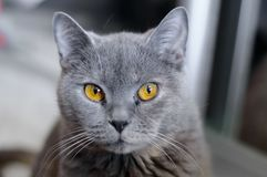 British cat with amber eyes royalty free stock photo