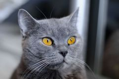 British cat with amber eyes. Blue pedigreed kitty is staring. A pet animal in the house stock images