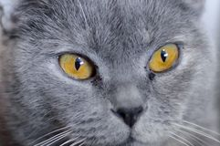 British cat with amber eyes. Blue pedigreed kitty is staring. A pet animal in the house stock photos