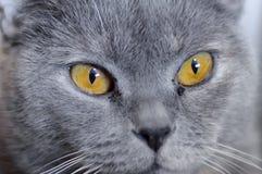 British cat with amber eyes stock photos