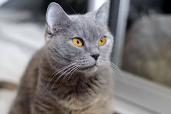 British cat with amber eyes. Blue pedigreed kitty is staring. A pet animal in the house stock photo