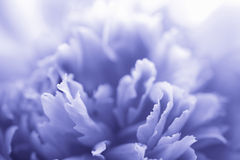 Blue peony flower Royalty Free Stock Photos