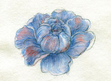 Blue peony hand painted pencils Royalty Free Stock Photo