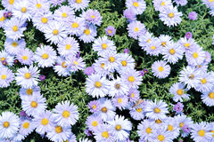 Blue perennial asters Stock Photography
