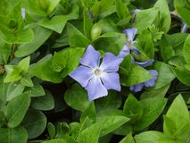 The Blue Periwinkle Royalty Free Stock Images