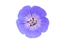 Blue Periwinkle. An isolate and blue periwinkle flower royalty free stock photos