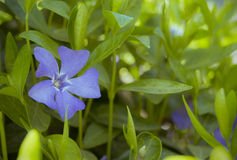 Blue periwinkle flower on a bush Stock Photos
