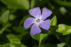 Blue periwinkle flower Royalty Free Stock Photo