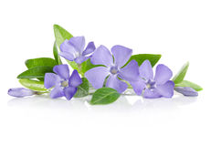 Blue Periwinkle flowers Royalty Free Stock Image