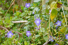 Blue periwinkle weed flower Stock Photos