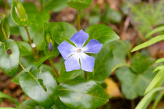 Blue periwinkle weed flower Stock Photo