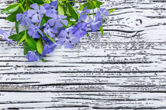 Blue periwinkle Stock Images