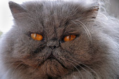 Blue Persian Cat Face Royalty Free Stock Photos
