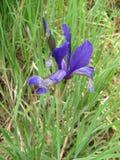Blue Peruber iris flower or fleur-de-lis. Bulgarian spring time in the botanical garden royalty free stock photos