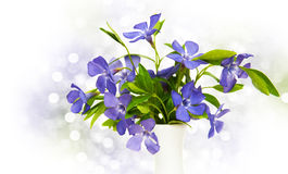 Blue Perwinkle flowers Stock Photos