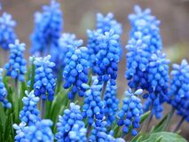 Blue Petaled Flower With Green Leaf Royalty Free Stock Photo