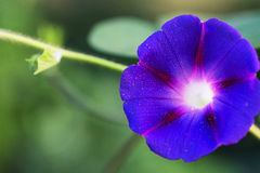 Blue petunia Stock Photography