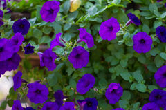 Blue petunia Stock Images