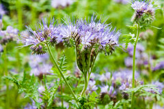 Blue phacelia Stock Images
