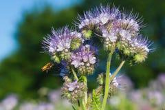 Blue phacelia. Nectar rich flowers ( Phacelia tanacetifolia Stock Image