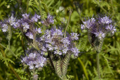 Blue phacelia Royalty Free Stock Image