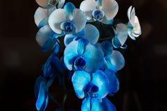 Blue Phalaenopsis orchid. stock photo