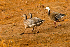 Blue Phase Snow Goose Stock Images