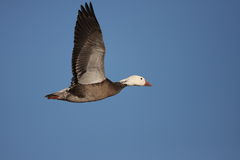 Blue Phased snow goose in flight. In New Mexico with a blue sky background Stock Image