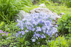 Blue phlox on alpine hill. Landscape design Stock Photography