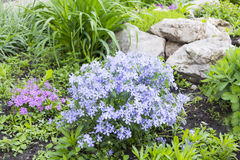 Blue phlox on alpine hill. Landscape design Royalty Free Stock Image