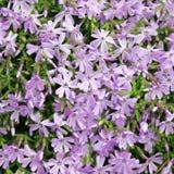 Blue phlox subulata blossoms Royalty Free Stock Photos