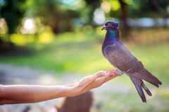 Blue pigeon Stock Photography