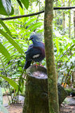 Blue pigeon sitting on a wooden stump in the forest Stock Images