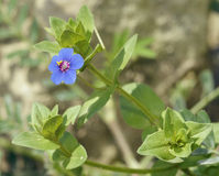 Blue Pimpernel Royalty Free Stock Photos