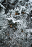 Blue pine branches. With cones covered with frost Royalty Free Stock Photography