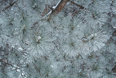 Blue pine branches covered with frost. Blue pine branches covered with frost on winter day in Armenia Stock Photography