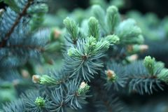 Pine branches close up Stock Photos