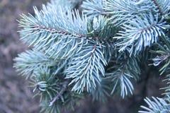 Blue pine tree. Christmas tree fragment Royalty Free Stock Photos