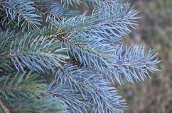 Blue pine tree. Christmas background Stock Photography