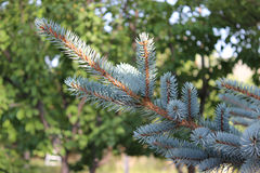 Blue Pine tree branches Stock Image