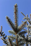 Blue Pine tree branches Royalty Free Stock Photo