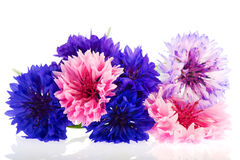Blue and pink Corn flowers Stock Images