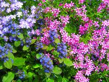 Blue and pink flowers. Stock Photo