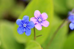 Blue and Pink Flowers of Omphalodes verna Royalty Free Stock Images