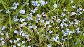 Blue and pink forget-me-not Stock Image