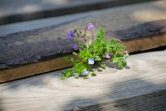 Blue and pink forget-me-nots lie on a wooden background stock photos