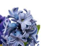 Blue pink hyacint Stock Photos
